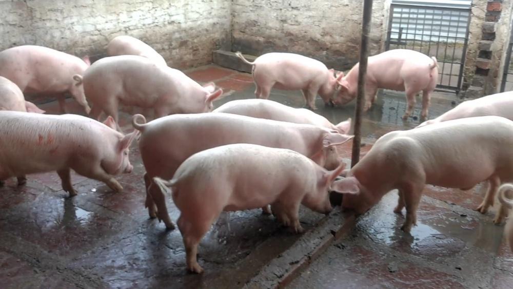 Dự báo giá heo hơi hôm nay 16/1: Giá lợn hơi mới nhất 38.000 đồng/kg