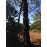Bán cây gỗ giáng hương