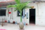 Cây giả, cây dừa lùn trang trí độc đáo