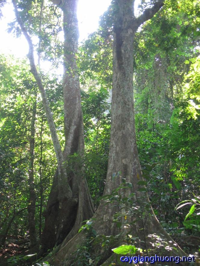 Bán cây giáng hương tại Đà Nẵng