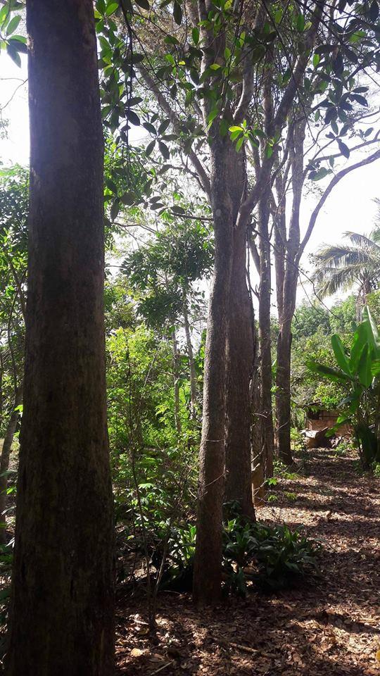 Bán cây giáng hương tại Thành Phố Mới Bình Dương
